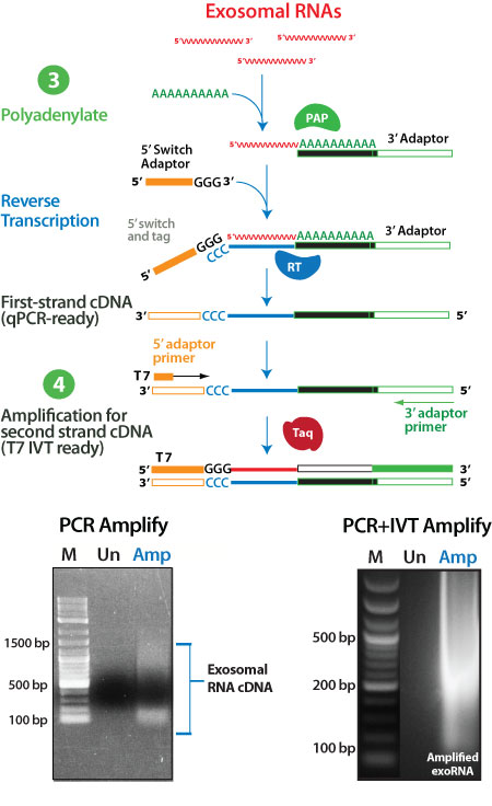 Tail exoRNAs and synthesize double-tagged cDNA